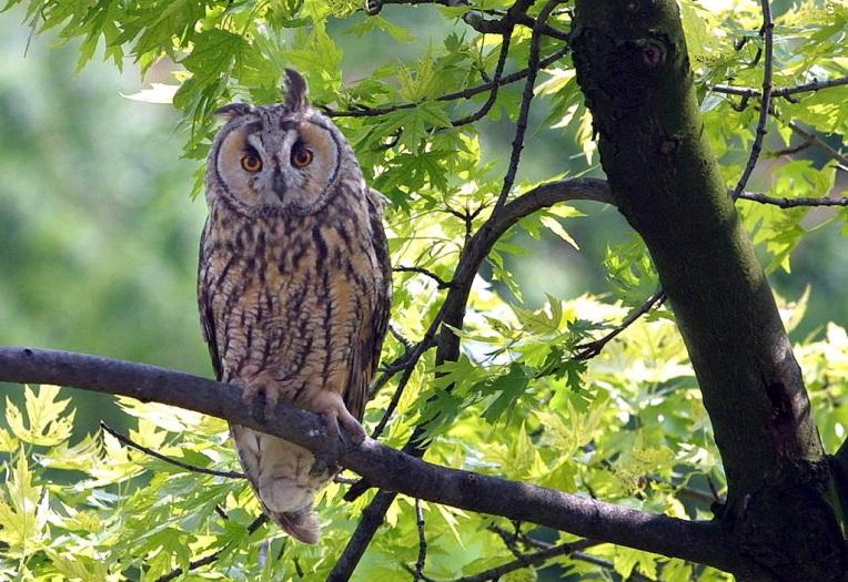 HUNGARY - LONG-EARED OWL