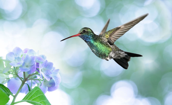 45878471 - ruby-throated hummingbird in the garden